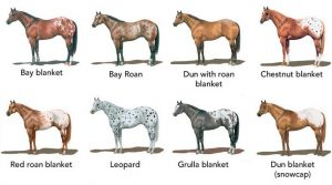 Appaloosa Spotted Horse Colors