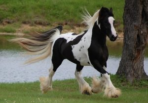 Gypsy Vanner Black and White Horse Breeds