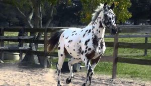 Knabstrupper horse is black and white horse type breed