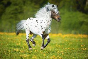Miniature Spotted Horse Colors