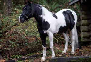 Mustang Black and White Horse - The mustang horse is an extremely trainable, sure-footed and also noble type. With the best training, they make outstanding trail horses as well as can complete in high-level disciplines too.