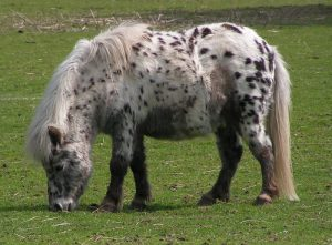 Pony of British Spotted Horse Series