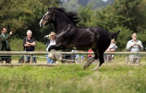 Shire Horse Black and White Type