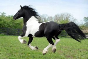 pinto horse (black and white horse type)
