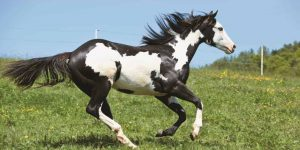 type black and white horses breeds in the world