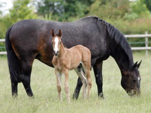 how to horse breeding be easy
