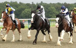 black shire horse running show