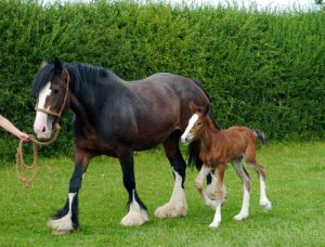 shire horse breeding