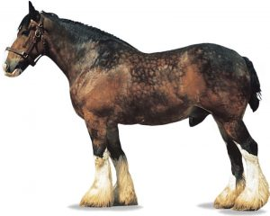 shire horse colors