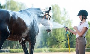 bathing horse for treatment from horse lice