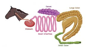 Horses Digestion - Horse's Digestive System