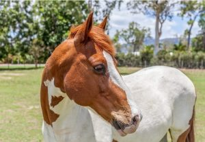Paint American Horse Breeds